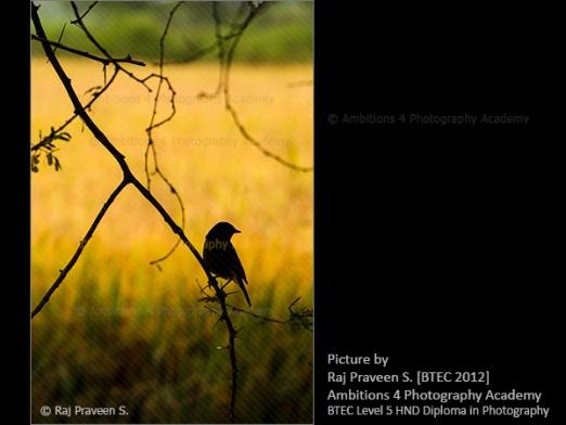 Bird on the branch - Raj Praveen S.