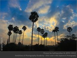 Palm trees - Sathiyaruban N.