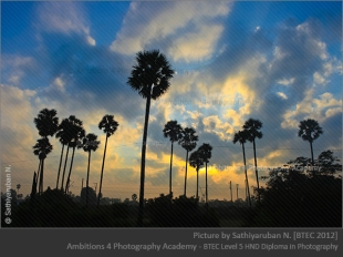 Palm trees - Sathiyaruban N.